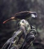 BIRD - Red-tailed Greenbul (Chlorocichla ruficollis) - DZANGA NDOKI NATIONAL PARK CENTRAL AFRICAN REPUBLIC (3).JPG