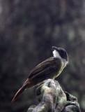 BIRD - Yellow-throated Greenbul (Chlorocichla flavicollis) - DZANGA NDOKI NATIONAL PARK CENTRAL AFRICAN REPUBLIC (8).JPG