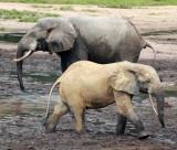 ELEPHANT - FOREST ELEPHANT - DZANGA BAI - DZANGA NDOKI NATIONAL PARK CENTRAL AFRICAN REPUBLIC (11).JPG