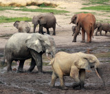 ELEPHANT - FOREST ELEPHANT - DZANGA BAI - DZANGA NDOKI NATIONAL PARK CENTRAL AFRICAN REPUBLIC (12).JPG