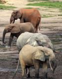 ELEPHANT - FOREST ELEPHANT - DZANGA BAI - DZANGA NDOKI NATIONAL PARK CENTRAL AFRICAN REPUBLIC (13).JPG