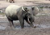 ELEPHANT - FOREST ELEPHANT - DZANGA BAI - DZANGA NDOKI NATIONAL PARK CENTRAL AFRICAN REPUBLIC (14).JPG