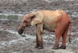 ELEPHANT - FOREST ELEPHANT - DZANGA BAI - DZANGA NDOKI NATIONAL PARK CENTRAL AFRICAN REPUBLIC (23).JPG