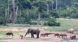 ELEPHANT - FOREST ELEPHANT - DZANGA BAI - DZANGA NDOKI NATIONAL PARK CENTRAL AFRICAN REPUBLIC (24).JPG