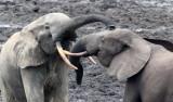 ELEPHANT - FOREST ELEPHANT - DZANGA BAI - DZANGA NDOKI NATIONAL PARK CENTRAL AFRICAN REPUBLIC (31).JPG