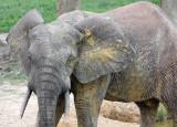 ELEPHANT - FOREST ELEPHANT - DZANGA BAI - DZANGA NDOKI NATIONAL PARK CENTRAL AFRICAN REPUBLIC (34).JPG