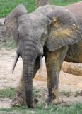 ELEPHANT - FOREST ELEPHANT - DZANGA BAI - DZANGA NDOKI NATIONAL PARK CENTRAL AFRICAN REPUBLIC (35).JPG