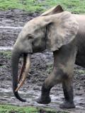 ELEPHANT - FOREST ELEPHANT - DZANGA BAI - DZANGA NDOKI NATIONAL PARK CENTRAL AFRICAN REPUBLIC (38).JPG