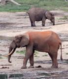 ELEPHANT - FOREST ELEPHANT - DZANGA BAI - DZANGA NDOKI NATIONAL PARK CENTRAL AFRICAN REPUBLIC (40).JPG