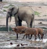 ELEPHANT - FOREST ELEPHANT - DZANGA BAI - DZANGA NDOKI NATIONAL PARK CENTRAL AFRICAN REPUBLIC (49).JPG