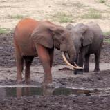 ELEPHANT - FOREST ELEPHANT - DZANGA BAI - DZANGA NDOKI NATIONAL PARK CENTRAL AFRICAN REPUBLIC (50).JPG