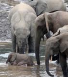 ELEPHANT - FOREST ELEPHANT - DZANGA BAI - DZANGA NDOKI NATIONAL PARK CENTRAL AFRICAN REPUBLIC (53).JPG
