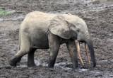 ELEPHANT - FOREST ELEPHANT - DZANGA BAI - DZANGA NDOKI NATIONAL PARK CENTRAL AFRICAN REPUBLIC (57).JPG