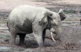 ELEPHANT - FOREST ELEPHANT - DZANGA BAI - DZANGA NDOKI NATIONAL PARK CENTRAL AFRICAN REPUBLIC (59).JPG
