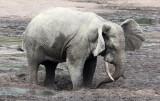 ELEPHANT - FOREST ELEPHANT - DZANGA BAI - DZANGA NDOKI NATIONAL PARK CENTRAL AFRICAN REPUBLIC (60).JPG