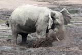 ELEPHANT - FOREST ELEPHANT - DZANGA BAI - DZANGA NDOKI NATIONAL PARK CENTRAL AFRICAN REPUBLIC (61).JPG