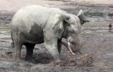 ELEPHANT - FOREST ELEPHANT - DZANGA BAI - DZANGA NDOKI NATIONAL PARK CENTRAL AFRICAN REPUBLIC (62).JPG