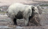 ELEPHANT - FOREST ELEPHANT - DZANGA BAI - DZANGA NDOKI NATIONAL PARK CENTRAL AFRICAN REPUBLIC (69).JPG