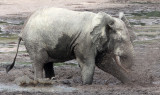 ELEPHANT - FOREST ELEPHANT - DZANGA BAI - DZANGA NDOKI NATIONAL PARK CENTRAL AFRICAN REPUBLIC (70).JPG