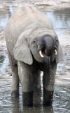 ELEPHANT - FOREST ELEPHANT - DZANGA BAI - DZANGA NDOKI NATIONAL PARK CENTRAL AFRICAN REPUBLIC (76).JPG