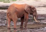 ELEPHANT - FOREST ELEPHANT - DZANGA BAI - DZANGA NDOKI NATIONAL PARK CENTRAL AFRICAN REPUBLIC (81).JPG