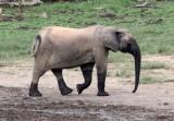 ELEPHANT - FOREST ELEPHANT - DZANGA BAI - DZANGA NDOKI NATIONAL PARK CENTRAL AFRICAN REPUBLIC (82).JPG