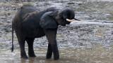 ELEPHANT - FOREST ELEPHANT - DZANGA BAI - DZANGA NDOKI NP CENTRAL AFRICAN REPUBLIC (10).JPG
