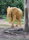 ELEPHANT - FOREST ELEPHANT - DZANGA BAI - DZANGA NDOKI NP CENTRAL AFRICAN REPUBLIC (119).JPG