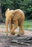 ELEPHANT - FOREST ELEPHANT - DZANGA BAI - DZANGA NDOKI NP CENTRAL AFRICAN REPUBLIC (123).JPG