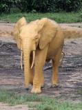ELEPHANT - FOREST ELEPHANT - DZANGA BAI - DZANGA NDOKI NP CENTRAL AFRICAN REPUBLIC (128).JPG