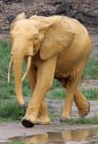 ELEPHANT - FOREST ELEPHANT - DZANGA BAI - DZANGA NDOKI NP CENTRAL AFRICAN REPUBLIC (132).JPG