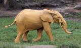 ELEPHANT - FOREST ELEPHANT - DZANGA BAI - DZANGA NDOKI NP CENTRAL AFRICAN REPUBLIC (148).JPG
