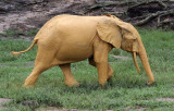 ELEPHANT - FOREST ELEPHANT - DZANGA BAI - DZANGA NDOKI NP CENTRAL AFRICAN REPUBLIC (149).JPG