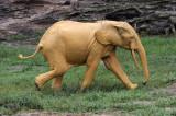 ELEPHANT - FOREST ELEPHANT - DZANGA BAI - DZANGA NDOKI NP CENTRAL AFRICAN REPUBLIC (150).JPG