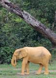 ELEPHANT - FOREST ELEPHANT - DZANGA BAI - DZANGA NDOKI NP CENTRAL AFRICAN REPUBLIC (152).JPG