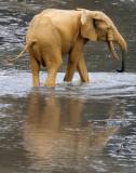 ELEPHANT - FOREST ELEPHANT - DZANGA BAI - DZANGA NDOKI NP CENTRAL AFRICAN REPUBLIC (159).JPG