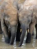 ELEPHANT - FOREST ELEPHANT - DZANGA BAI - DZANGA NDOKI NP CENTRAL AFRICAN REPUBLIC (163).JPG
