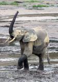 ELEPHANT - FOREST ELEPHANT - DZANGA BAI - DZANGA NDOKI NP CENTRAL AFRICAN REPUBLIC (178).JPG