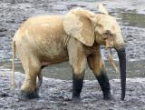 ELEPHANT - FOREST ELEPHANT - DZANGA BAI - DZANGA NDOKI NP CENTRAL AFRICAN REPUBLIC (187).JPG