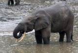 ELEPHANT - FOREST ELEPHANT - DZANGA BAI - DZANGA NDOKI NP CENTRAL AFRICAN REPUBLIC (19).JPG
