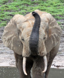 ELEPHANT - FOREST ELEPHANT - DZANGA BAI - DZANGA NDOKI NP CENTRAL AFRICAN REPUBLIC (191).JPG