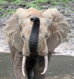 ELEPHANT - FOREST ELEPHANT - DZANGA BAI - DZANGA NDOKI NP CENTRAL AFRICAN REPUBLIC (194).JPG