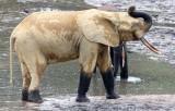 ELEPHANT - FOREST ELEPHANT - DZANGA BAI - DZANGA NDOKI NP CENTRAL AFRICAN REPUBLIC (203).JPG