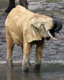 ELEPHANT - FOREST ELEPHANT - DZANGA BAI - DZANGA NDOKI NP CENTRAL AFRICAN REPUBLIC (209).JPG