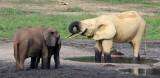 ELEPHANT - FOREST ELEPHANT - DZANGA BAI - DZANGA NDOKI NP CENTRAL AFRICAN REPUBLIC (215).JPG