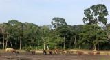 ELEPHANT - FOREST ELEPHANT - DZANGA BAI - DZANGA NDOKI NP CENTRAL AFRICAN REPUBLIC (239).JPG