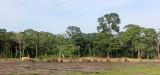 ELEPHANT - FOREST ELEPHANT - DZANGA BAI - DZANGA NDOKI NP CENTRAL AFRICAN REPUBLIC (240).JPG