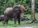 ELEPHANT - FOREST ELEPHANT - DZANGA BAI - DZANGA NDOKI NP CENTRAL AFRICAN REPUBLIC (27).JPG