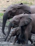 ELEPHANT - FOREST ELEPHANT - DZANGA BAI - DZANGA NDOKI NP CENTRAL AFRICAN REPUBLIC (53).jpg