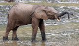 ELEPHANT - FOREST ELEPHANT - DZANGA BAI - DZANGA NDOKI NP CENTRAL AFRICAN REPUBLIC (88).JPG